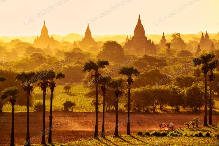 Colorful bright sunrise in with temples, fields and working cattle, Bagan