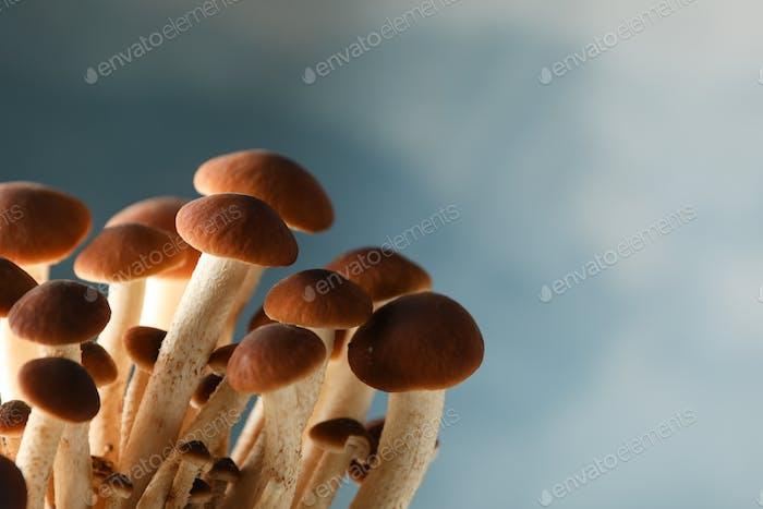 Honey agaric mushrooms on blue background, close up