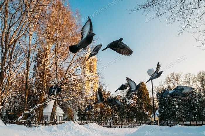 Gomel, Belarus. Winter City Park. Pigeons Doves Birds Are Flying Near Peter And Paul Cathedral In