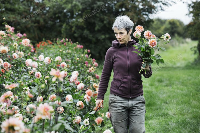 A woman picking flowers, peach coloured dahlias, in a flowering bed at an organic flower nursery.