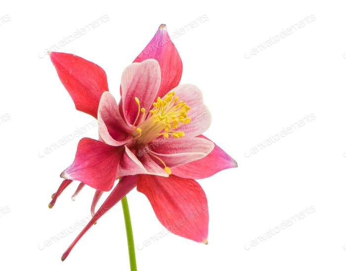 Isolated blossom of Columbine flower