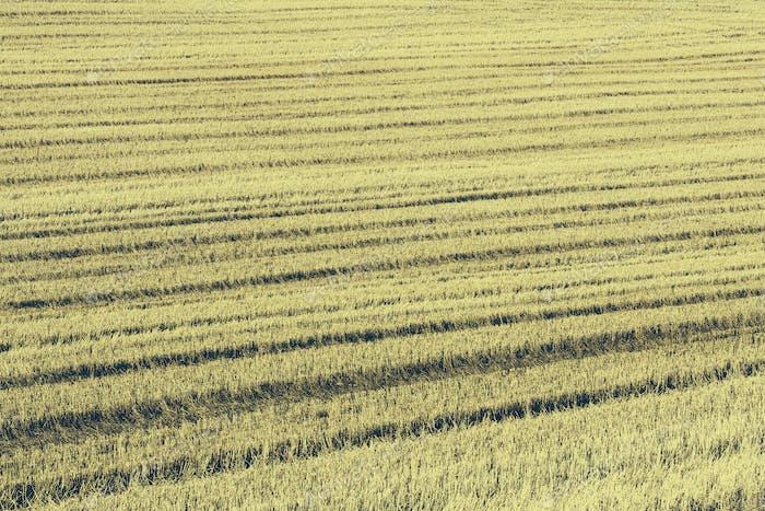 Stoppeln Sie in einem Weizenfeld auf der Prärie von Palouse im Washington State.