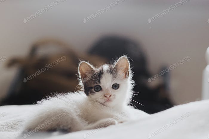 Cute little kitten sitting on soft bed. Portrait of adorable curious grey and white kitty on blanket