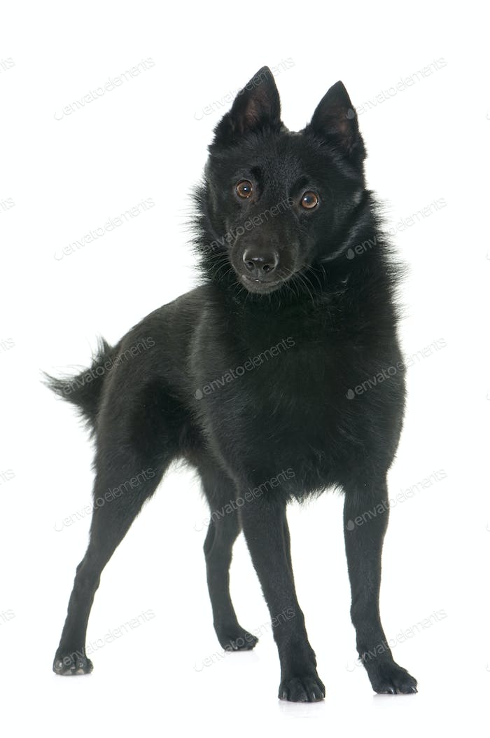 young Schipperke dog