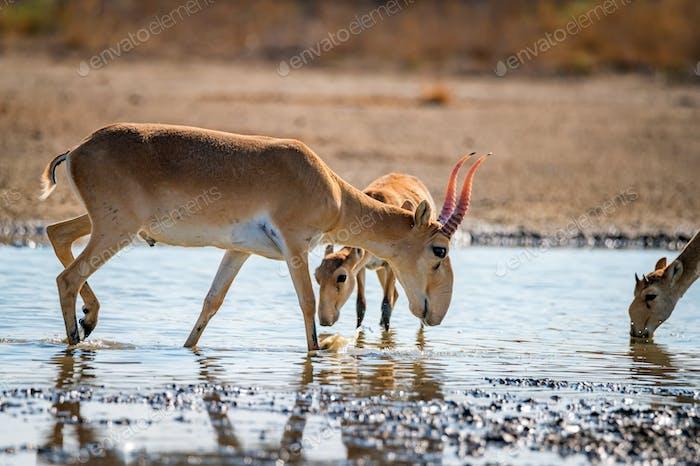 Saiga antelope or Saiga tatarica drinks in steppe