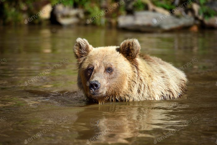 Brown Bear (Ursus arctos) swimming in a water