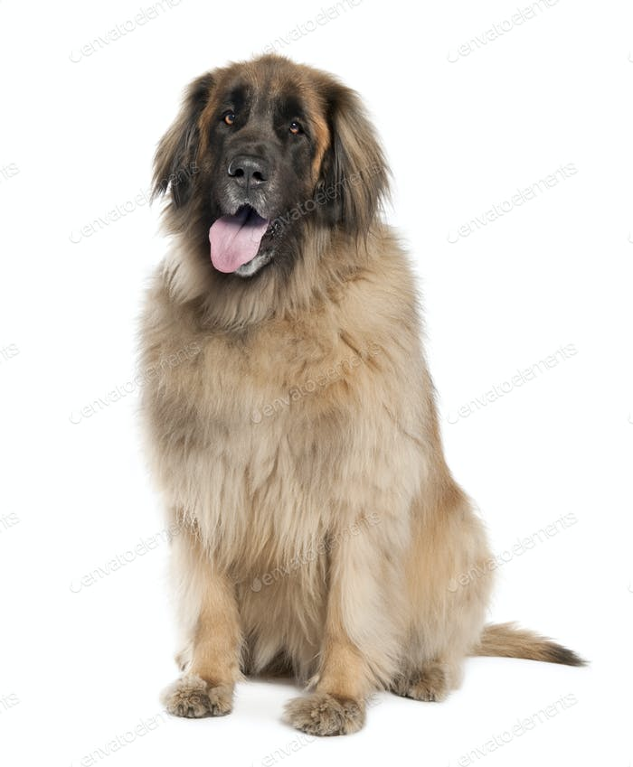 Leonberger( 6 years old )