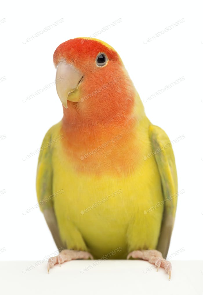 Portrait of Rosy-faced Lovebird, Agapornis roseicollis, also known as the Peach-faced Lovebird