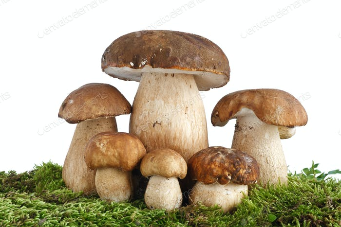 Boletus Edulis mushrooms