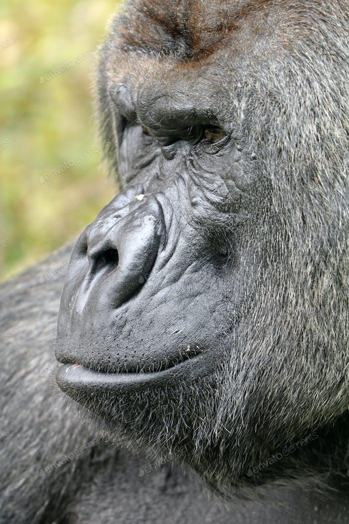 Silverback gorilla face