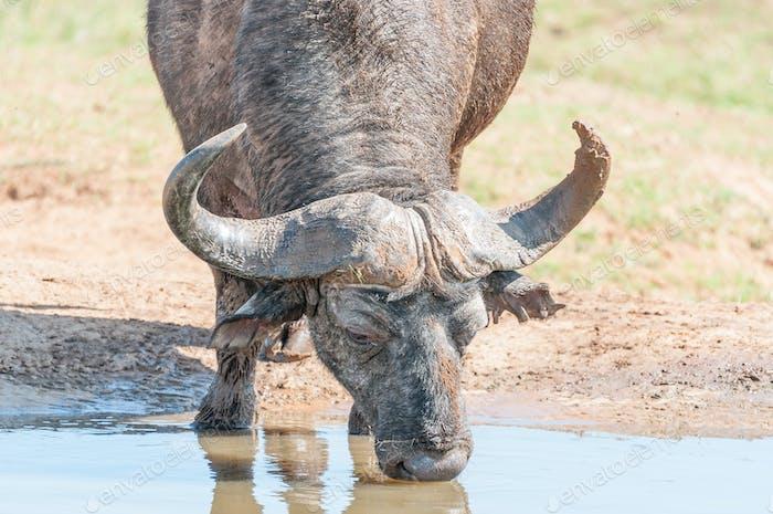 Cape Buffalo drinking
