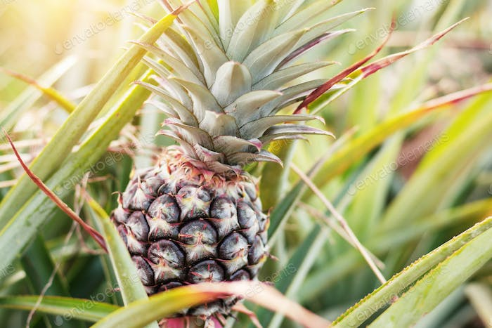 Pineapple in farm with sunshine