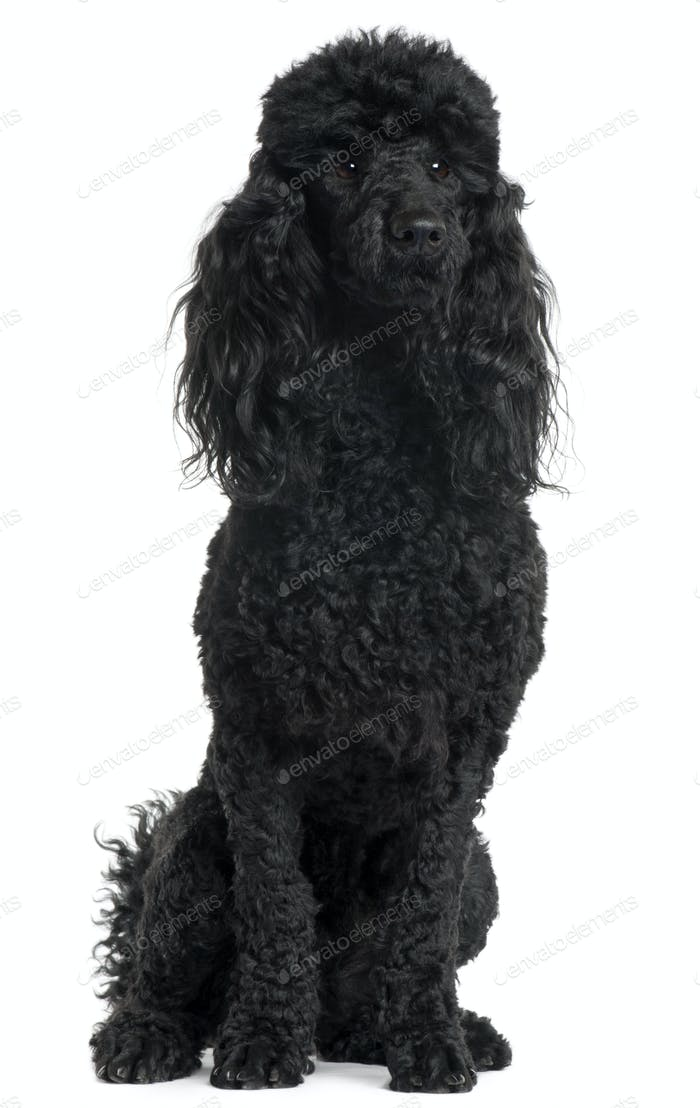 Poodle, 18 months old, sitting in front of white background