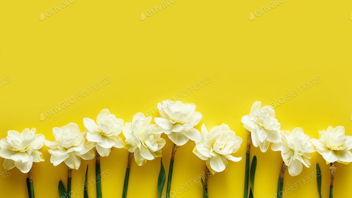 Ivory narcissus flowers on a yellow background