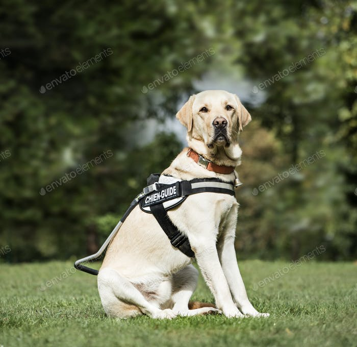 Guide dog Labrador Retriever, 2 years old, in park