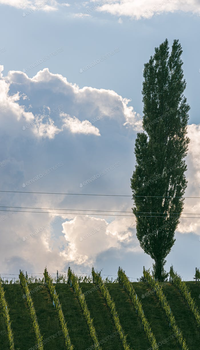 Beautiful green rows of grape plants in summer in Austria
