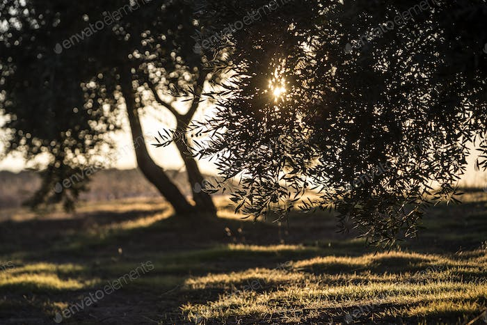 Olives on olive tree at sunset near Jaen, Spain