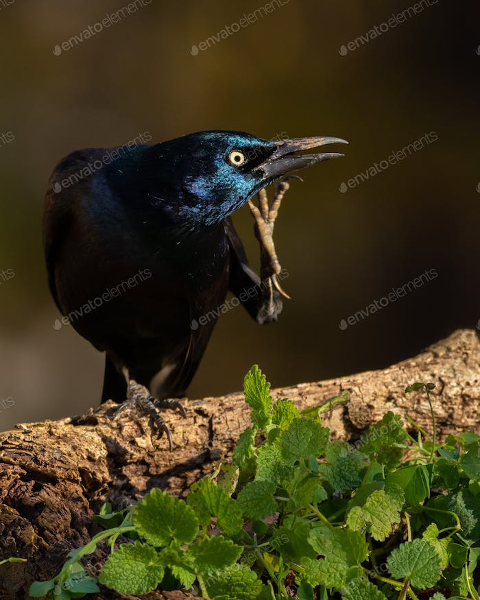 Grackle Scratching