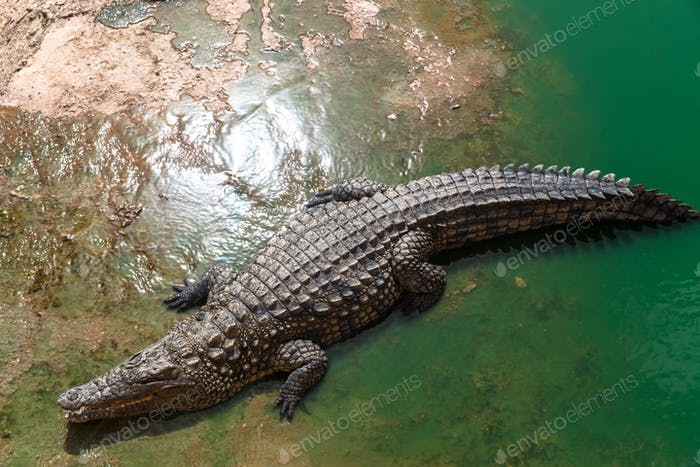 Nile crocodile or crocodylus niloticus on riverbank, animal park, Morocco