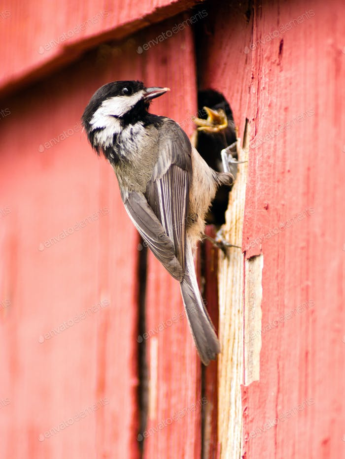Black-capped Chickadee Bird Perched Over Nest Feeding Young