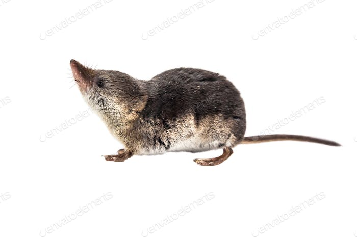 Common shrew isolated on white background