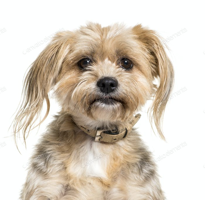 Close-up of a Mixed-breed dog, isolated on white