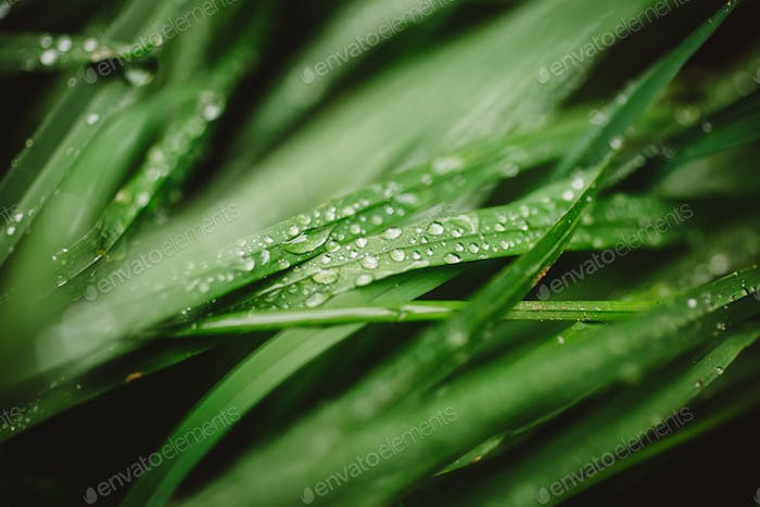 Thumbnail for Fresh thick grass with dew drops