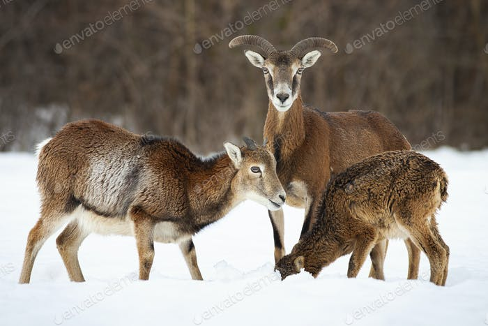 Tree mouflons feeding on snow in winter nature