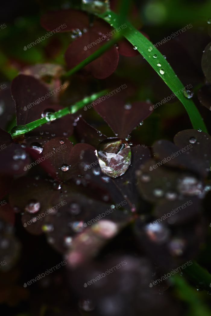 Dew on grass and clover