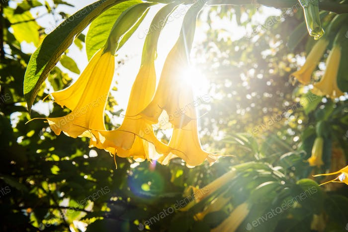 yellow brugmansia trumpet plant with sunny background