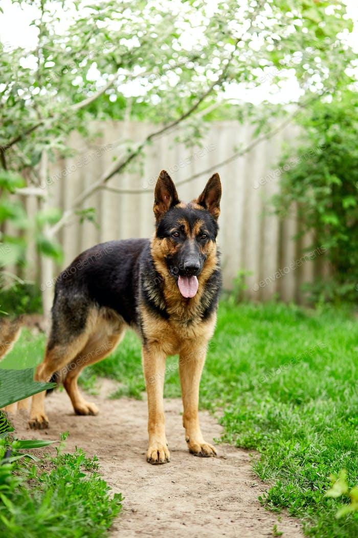Deutscher Schäferhund sticht im Park auf das Gras.