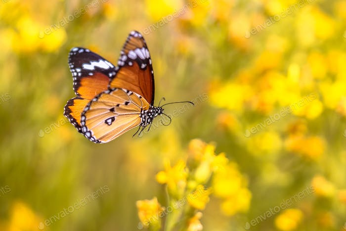 Flying butterfly Plain tiger