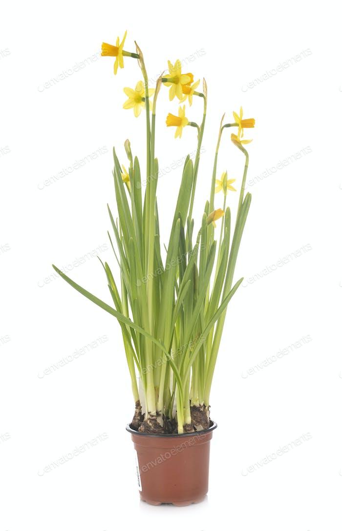 Narcissus jonquilla in studio