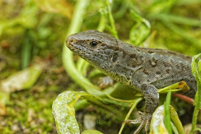 Lizard (Lacerta agilis) in a nature