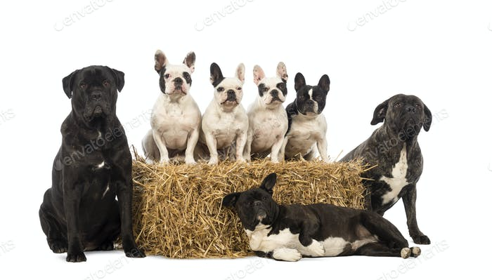 French Bulldogs sitting on a straw bale and crossbreeds sitting and lying