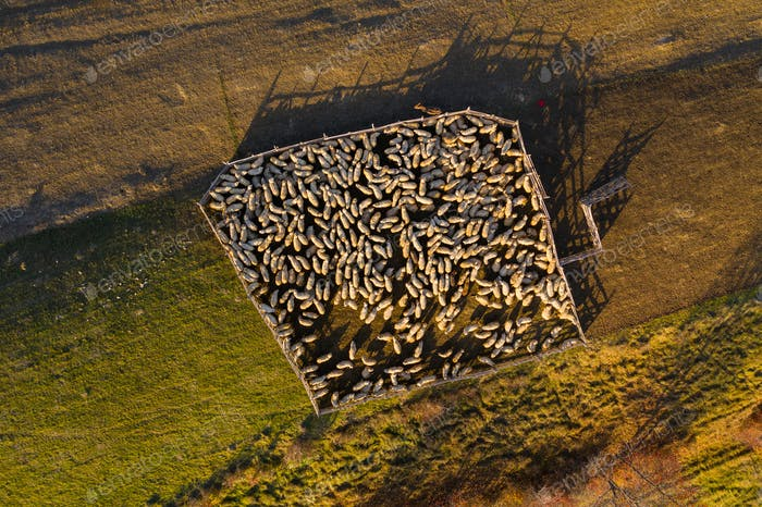 Aerial drone view of sheep in sheepfold in the mountains