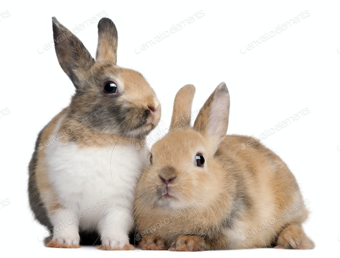 Portrait of European Rabbits, Oryctolagus cuniculus, sitting in front of white background