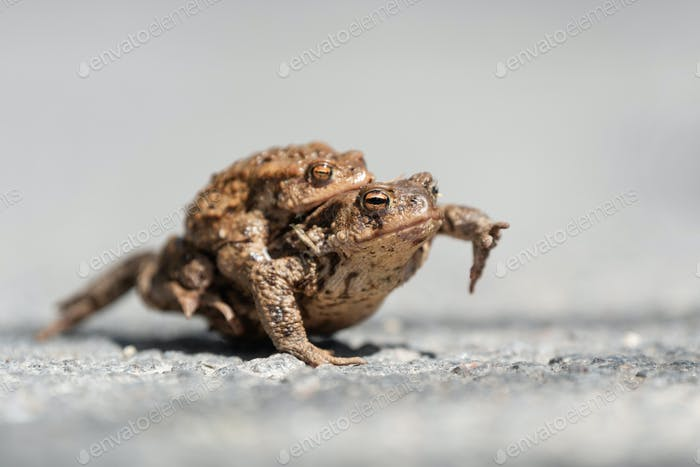 Close up Two Common toad frogs pairing on a road in spring period.