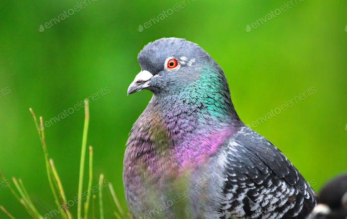 Domestic Pigeon Up Close in Australia