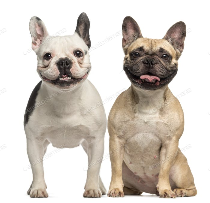 Two French Bulldogs, 3 years old, sitting and panting, isolated on white