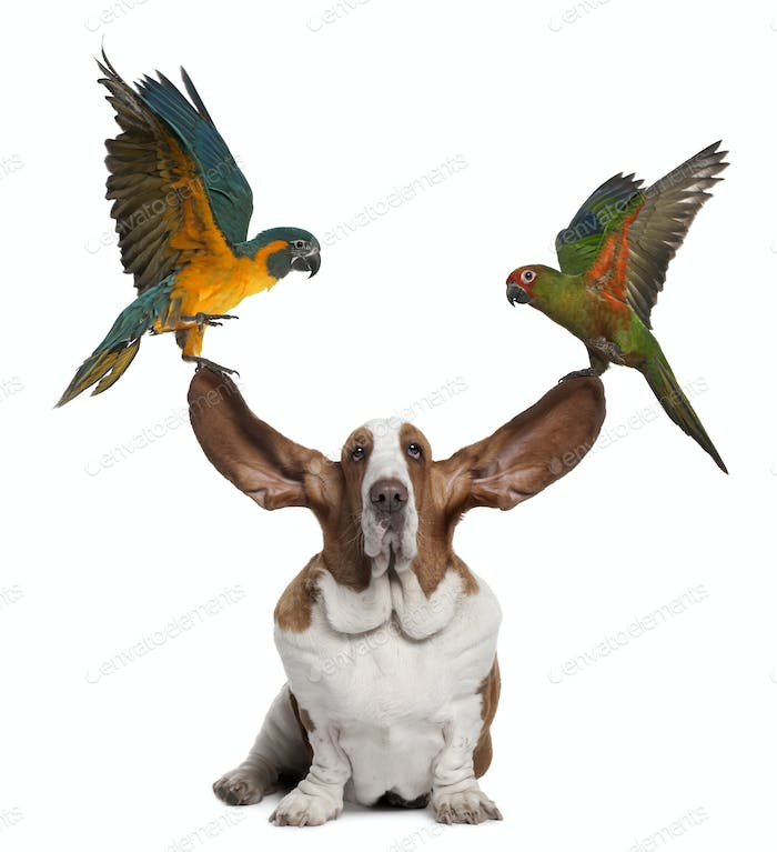 Bleu throated Macaw and Golden capped parakeet pulling up the ears of Basset Hound