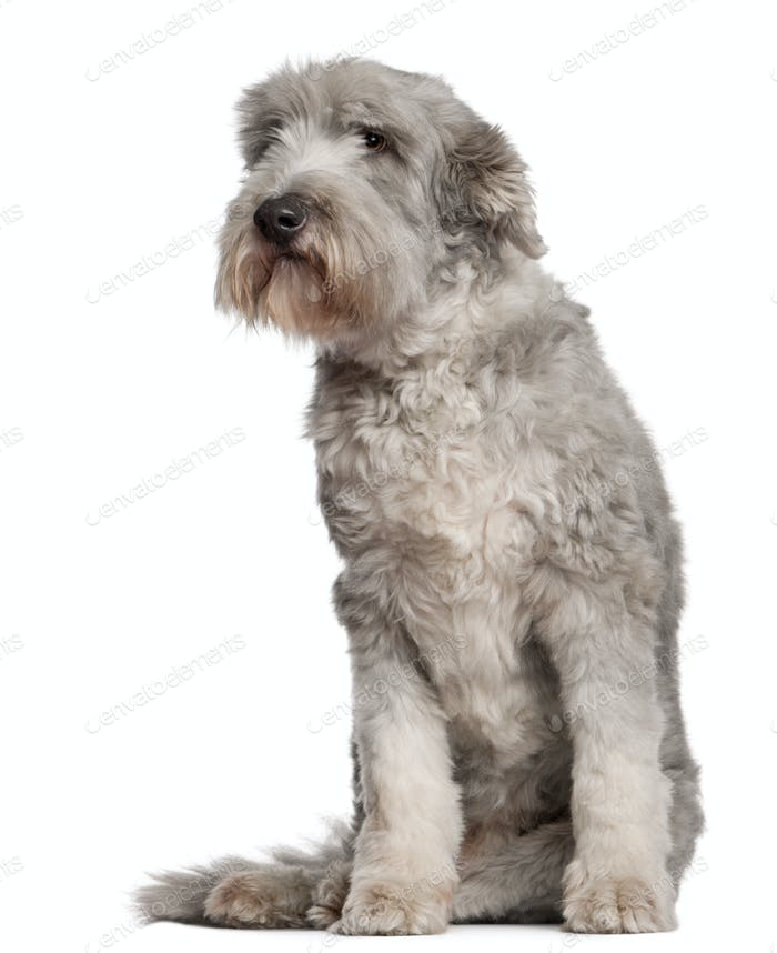 Bearded Collie (10 years old)