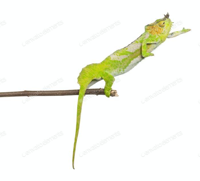 Four-horned Chameleon