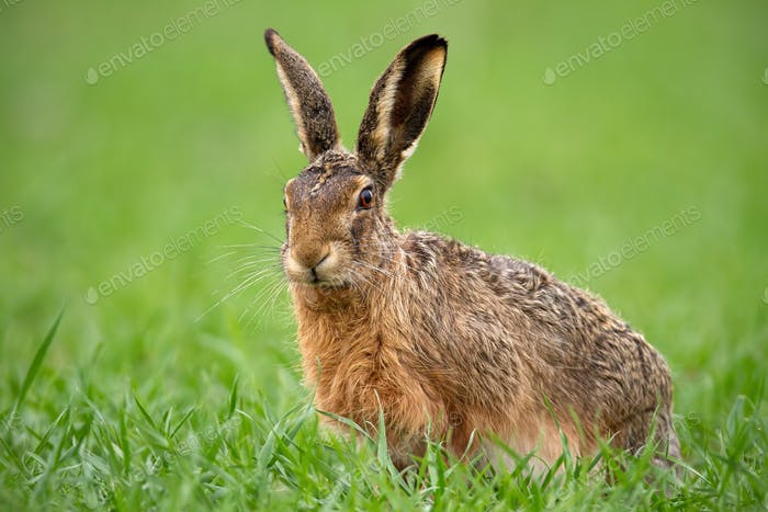 European brown hare, lepus europaeus in summer with green blurred background
