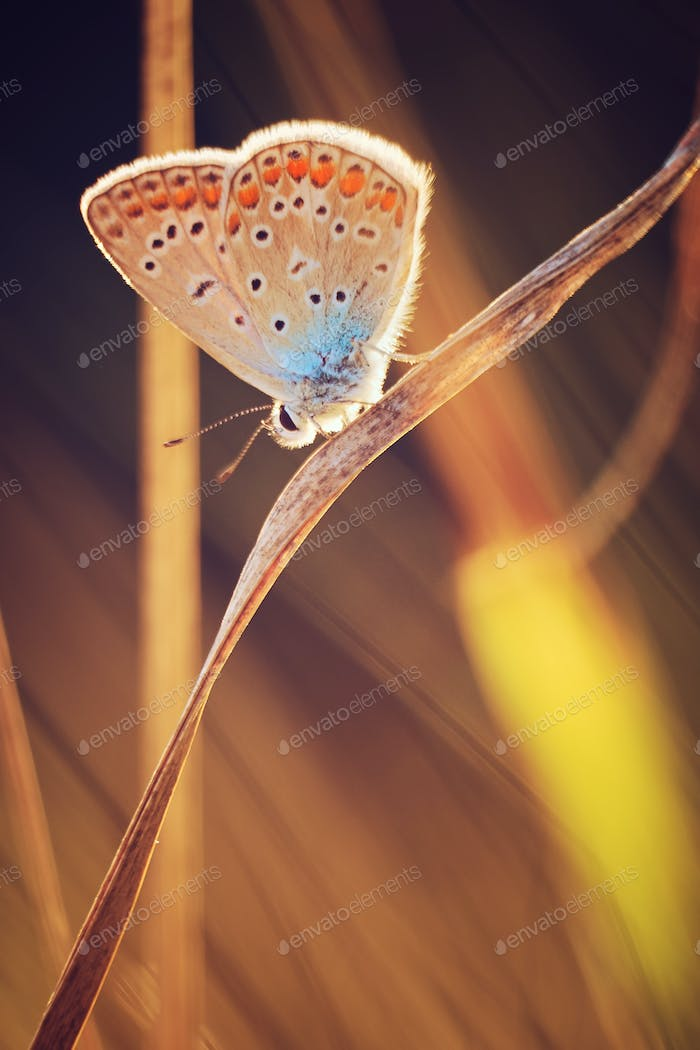 Butterfly on a meadow