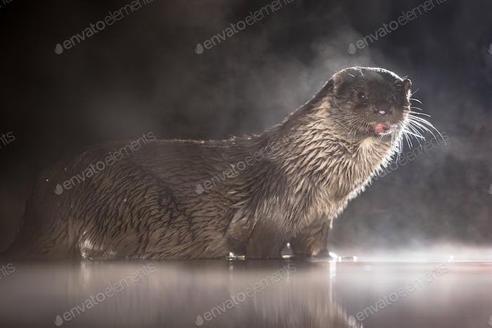European Otter in shallow water at night