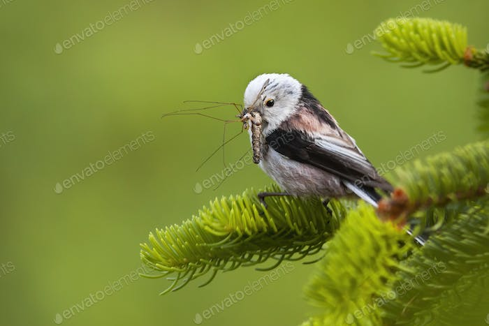 Cute long-tailed tit sitting on a green spruce twig with insect holding in bill