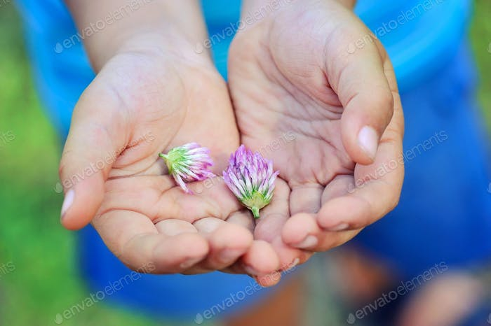 The flowers of clover in children's hands