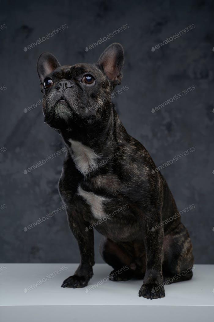 Purebred french bulldog with black fur against dark background
