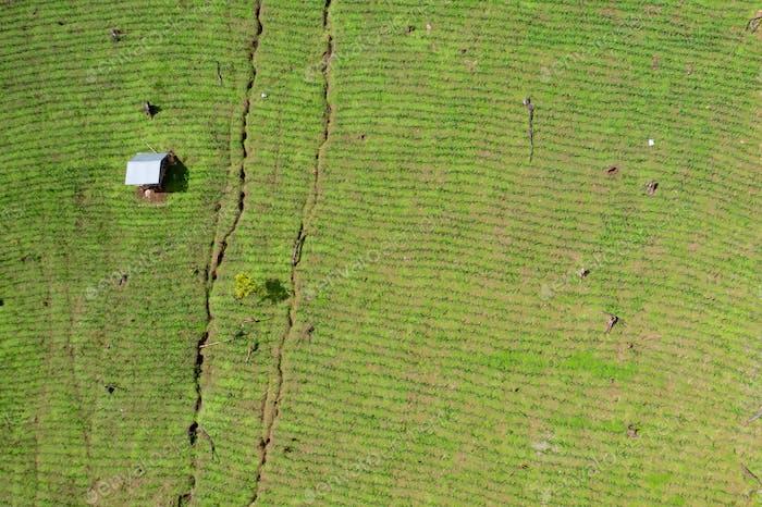 Fresh corn field aerial view.